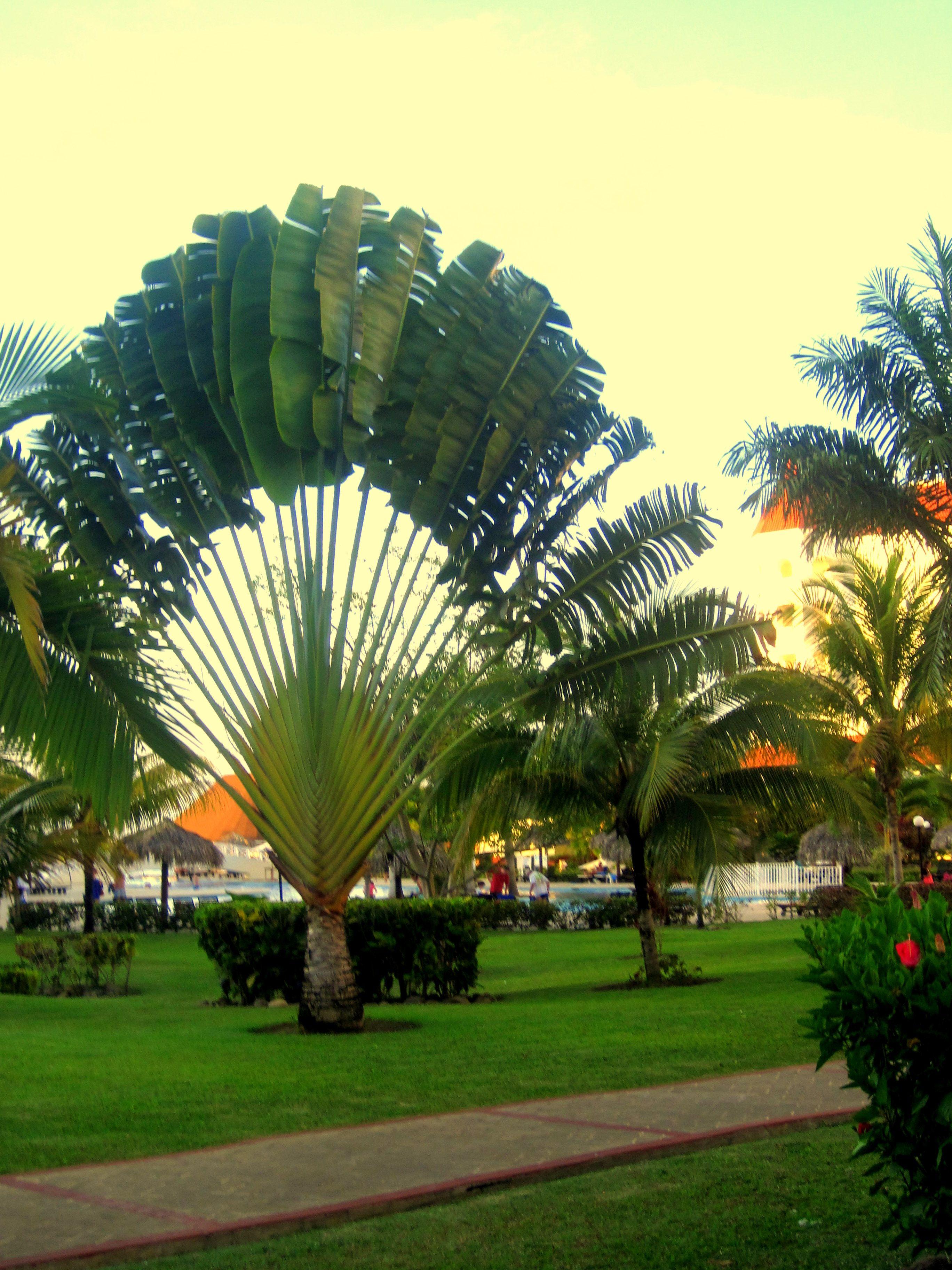 Jamaica I Love These Fan Trees Plantas Jardim Decoracao