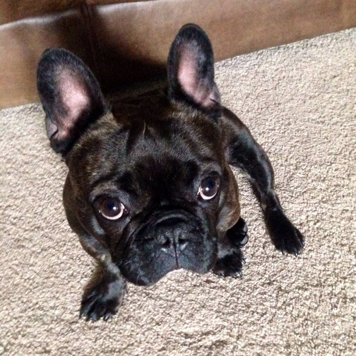 'Frankie Doodle' the French Bulldog