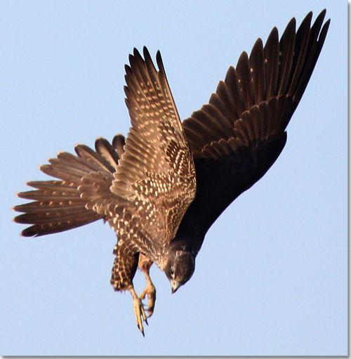 peregrine falcon diving - Google Search