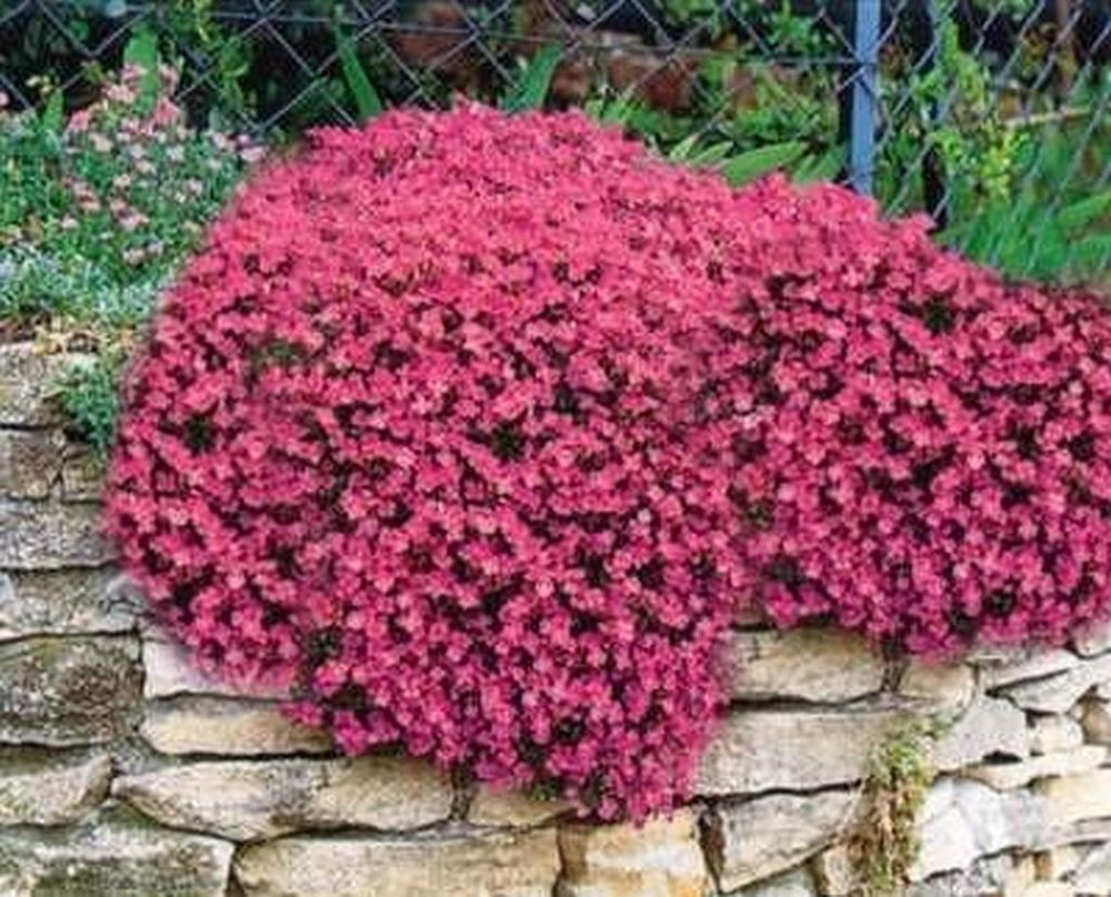 100 red aubrietia seeds alpine rock garden plant perennial 100 red aubrietia seeds alpine rock garden plant perennial mightylinksfo