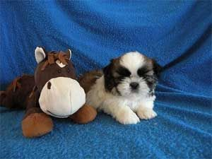 Karyon Shih Tzu Puppies Http Www Karyonshihtzu Com Texas