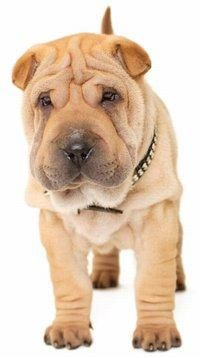 Miniature Shar Pei Puppies Shar Pei Puppies Shar Pei Dogs