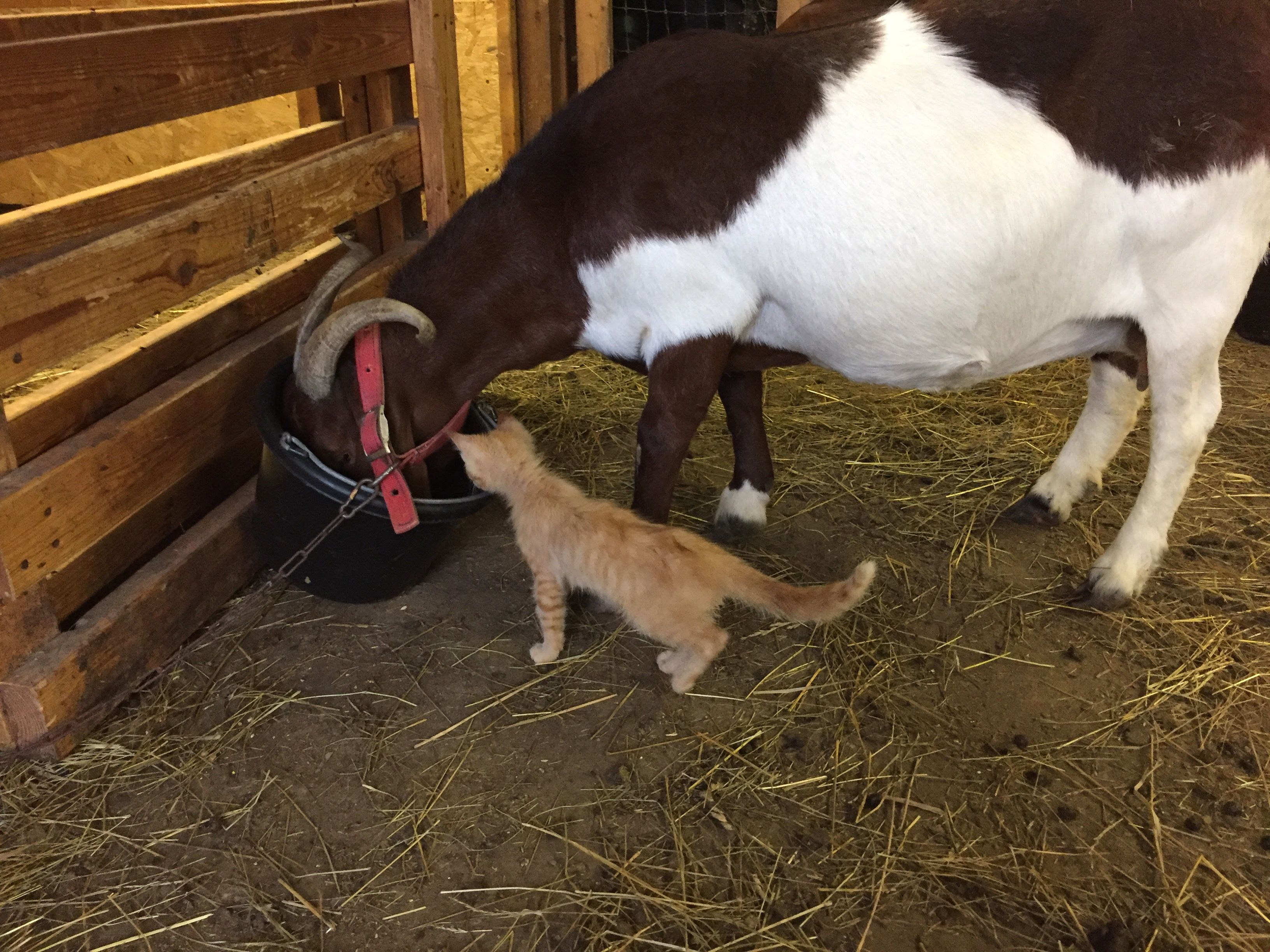This Morning I Had Big Help Feeding Goats Our Kitty Was Making Sure They Eat All Their Feed Morning Kitty Kitten Goat Cat Goats Cat Day Feeding Goats