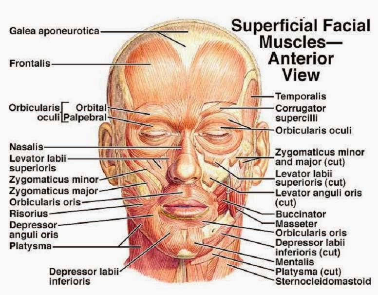 Muscles of the face - superficial facial muscles - human anatomy ...