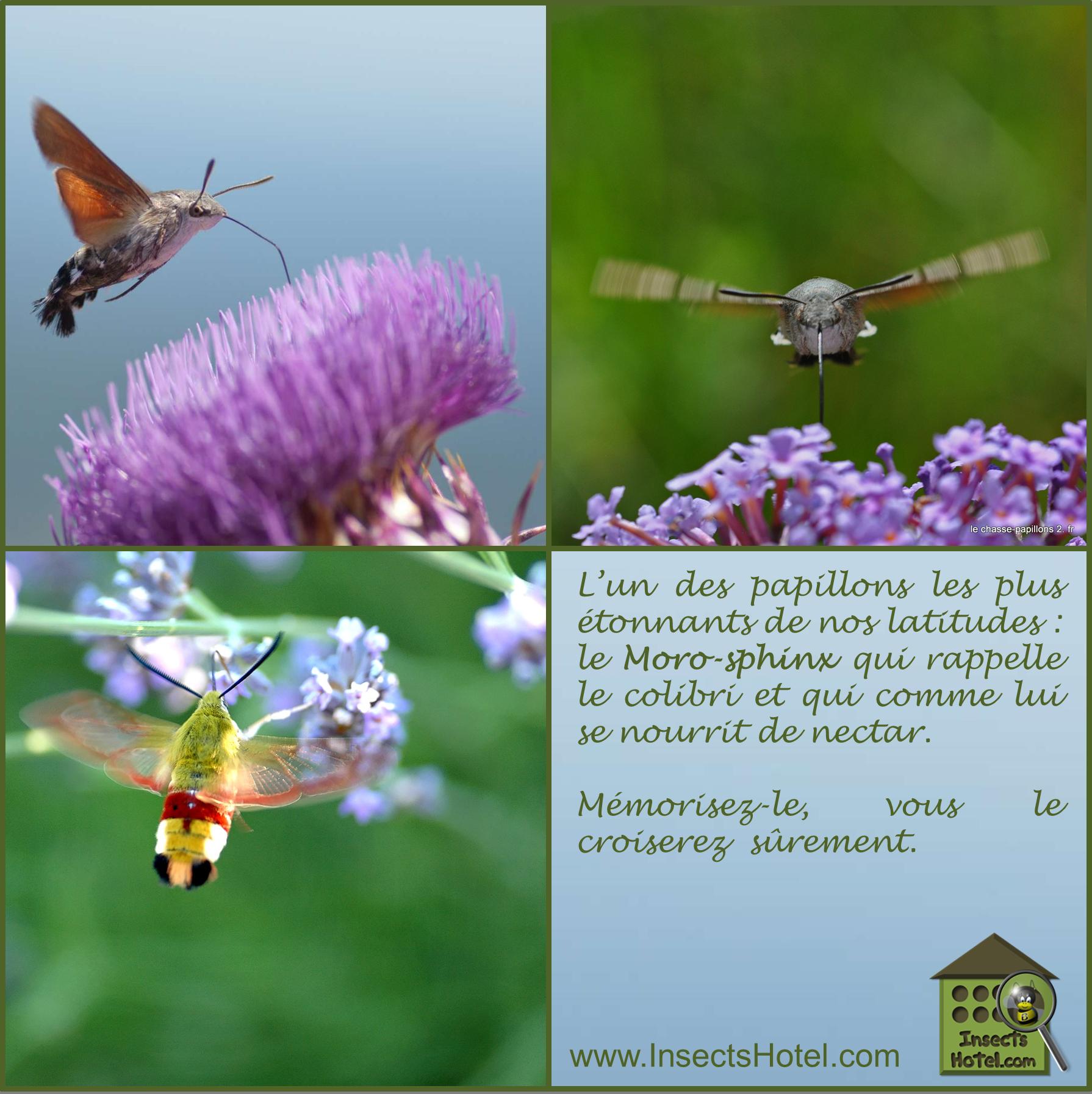 Le Moro-sphinx #insectes #InsectHotel #insecte #nature #biologie #animal #animaux #biodiversité #biodiversity #faune #wildlife