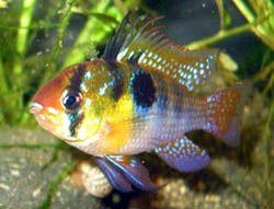 Mikrogeophagus Ramirezi The Ram Cichlid Cichlids Freshwater Aquarium Fish Aquarium Fish