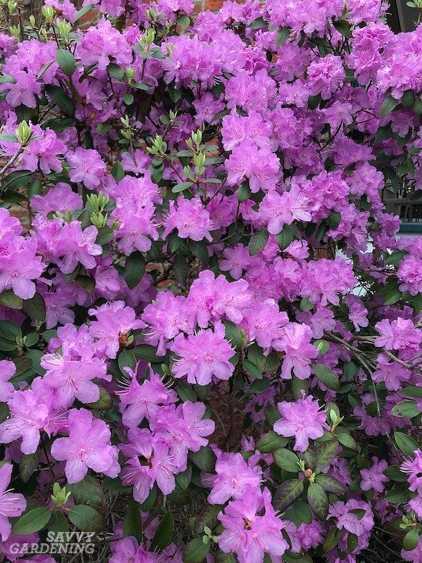 Flowering Shrubs For Shade Top Picks For The Yard 400 x 300