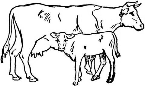 Angus Beef Cow Coloring Pages Coloring Pages Cow Coloring Pages