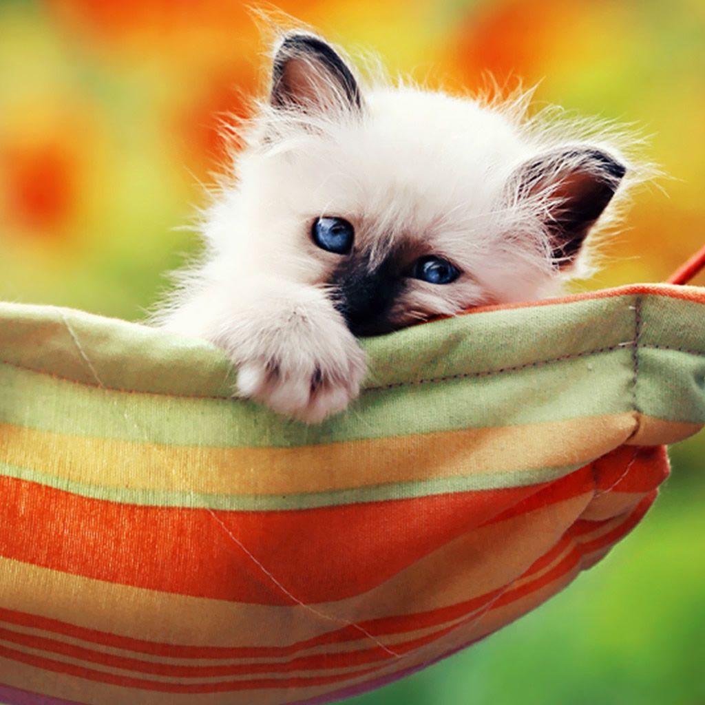 Kitten In A Hammock Ipad Wallpaper Download Iphone Wallpapers Ipad Wallpapers One Stop Download Kittens Cutest Cute Cats Cats