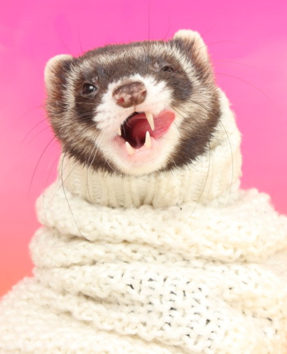 Do You Know Where We Can Get A Mermaid Costume For A Ferret How About A Tiny Wig We Are Currently Shooting Our 20 Cute Ferrets Pet Ferret Baby Ferrets