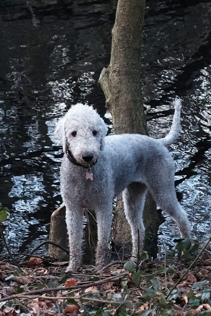 Two Bedlington Terrier X Beddipoo Poodlington Grey Dog