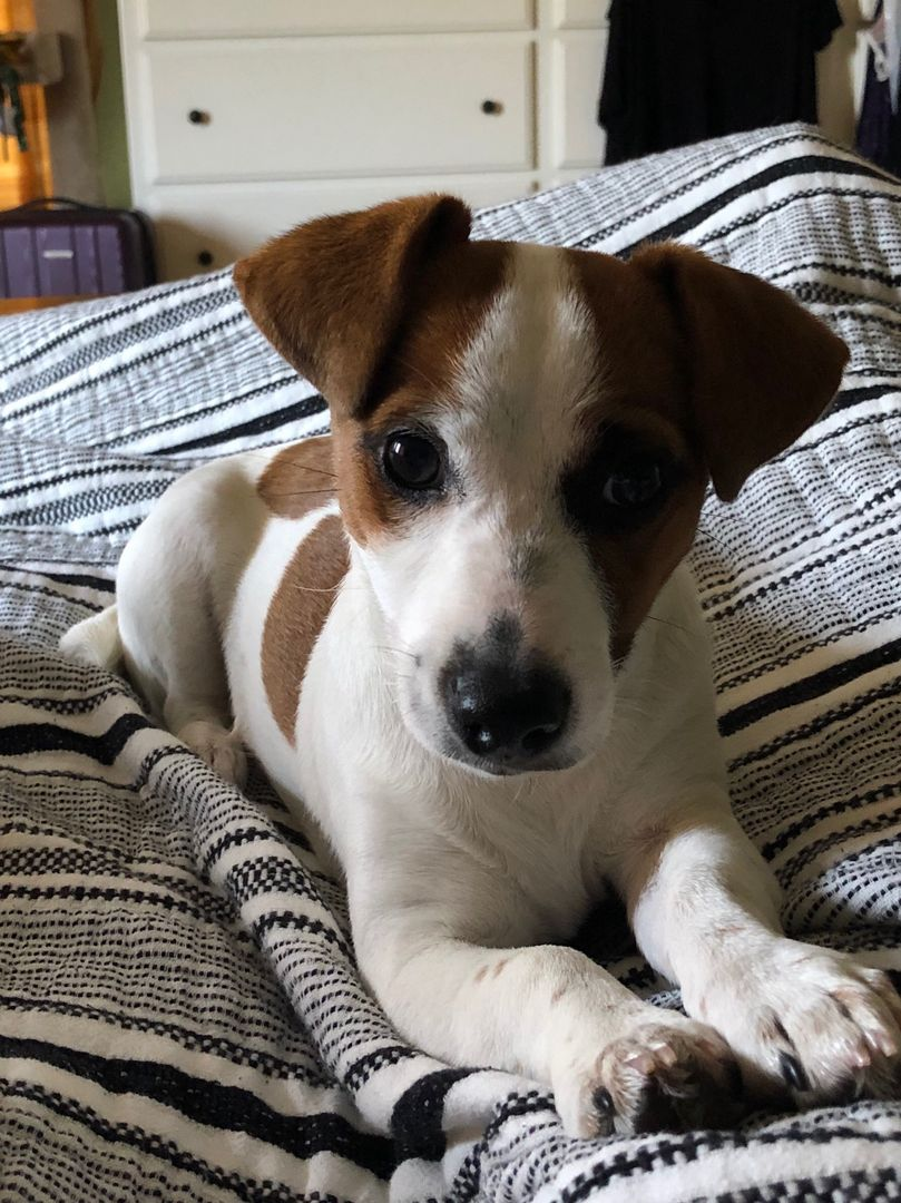 Registered English Jack Russell Terrier Puppies English Jack Russell Terrier Breeder Goswick Short In 2020 Jack Russell Terrier Puppies Jack Russell Terrier Puppies