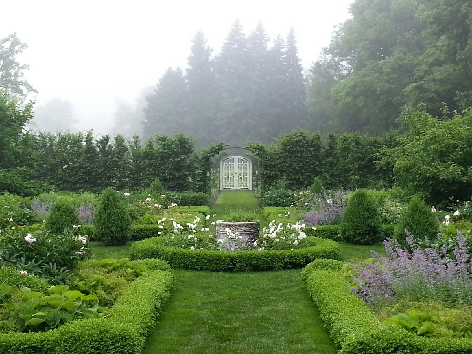 Beautiful rose garden in the mist. Plants 'Iceberg' Rose