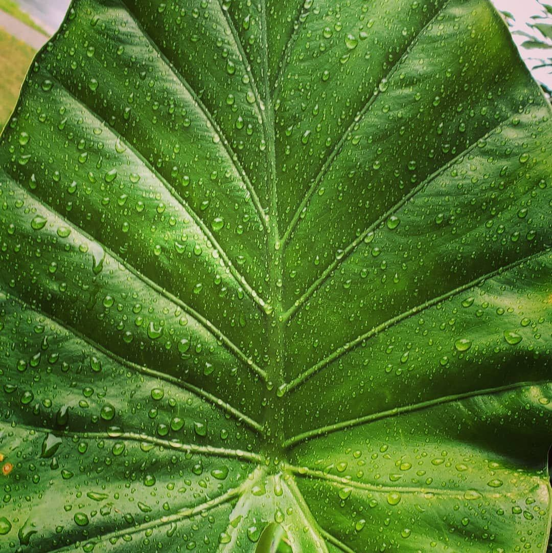 Close up of my elephant ear #closeup #houseplanthobbyist #novascotiaplants #tropicals #collection #beautiful #house_plant_community #houseplantsofinstagram #houseplant #elephantear #raindrops #elephantearsandtropicals Close up of my elephant ear #closeup #houseplanthobbyist #novascotiaplants #tropicals #collection #beautiful #house_plant_community #houseplantsofinstagram #houseplant #elephantear #raindrops #elephantearsandtropicals Close up of my elephant ear #closeup #houseplanthobbyist #novasc #elephantearsandtropicals