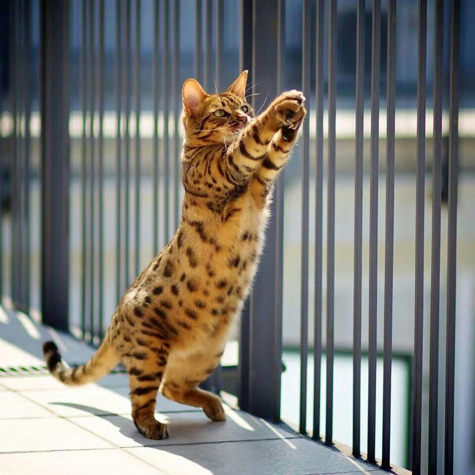 Bengal cat Bengal cat, Beautiful cats, Kittens cutest