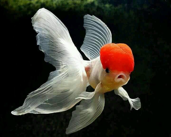 Red capped goldfish, oranda