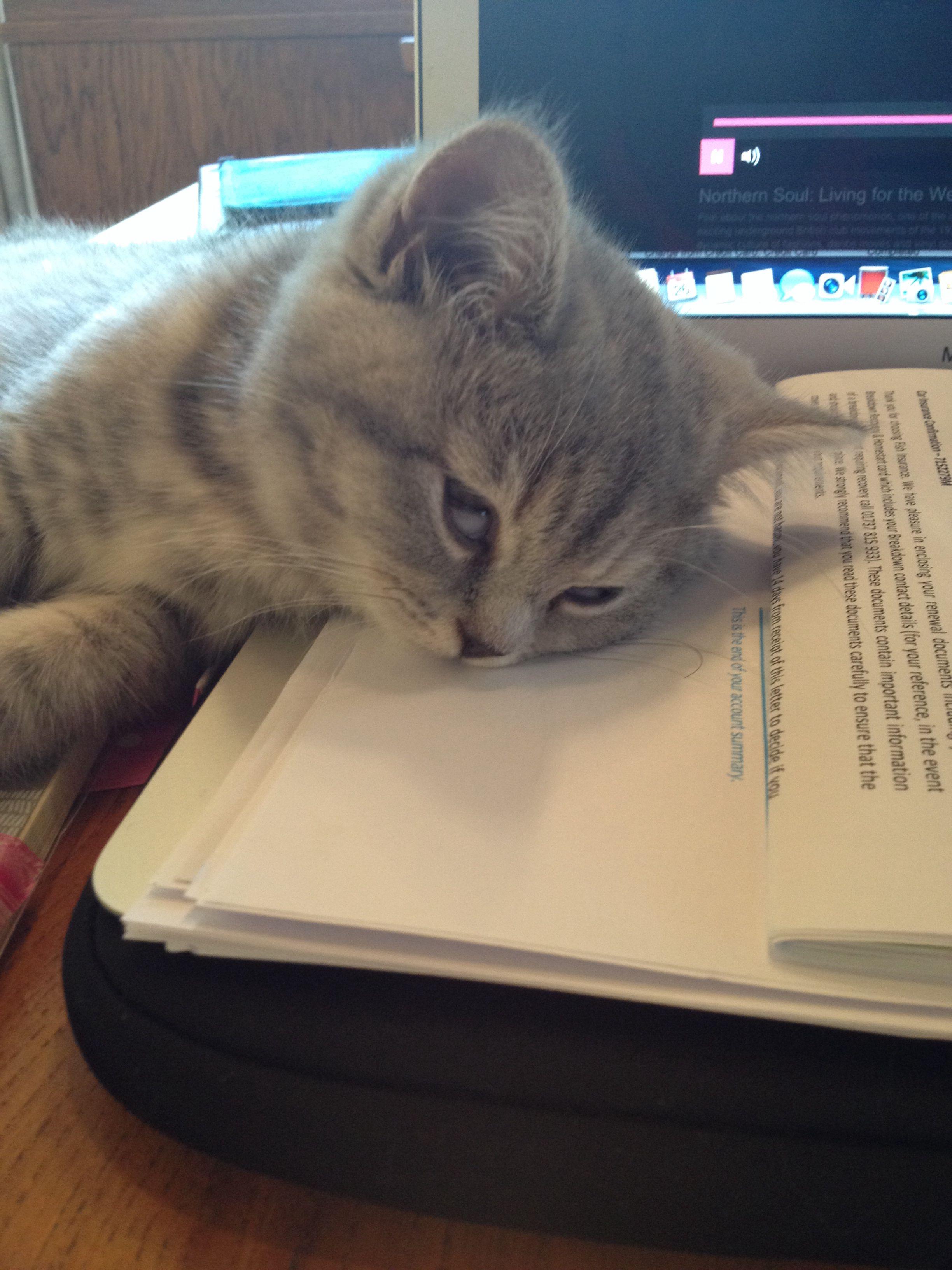 It S My Turn On The Mac Kitten Britishshorthair Queenelsa Cat Hewan Lucu Binatang Lucu Binatang