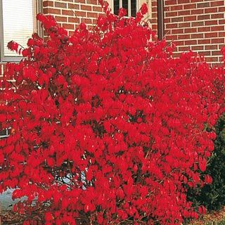 Dwarf Burning Bush 12 18 Write A Review Welcome To Gurney S Seed Nursery Flame Red Foliage In Fall Eye Catching Color Every Season
