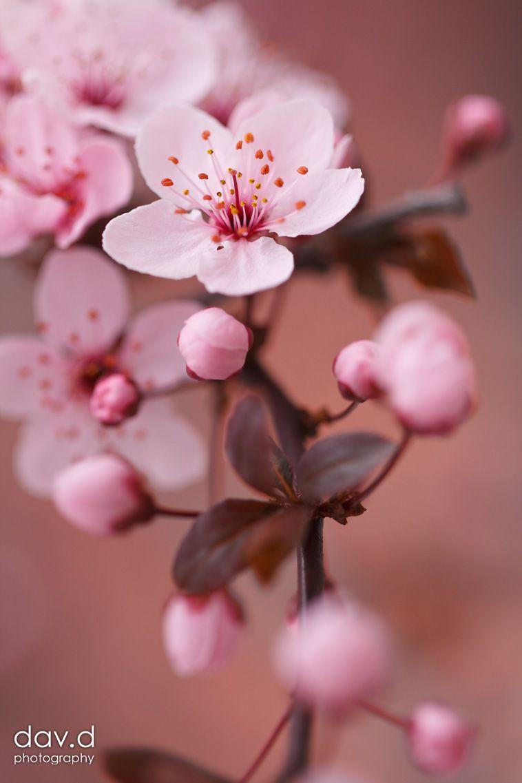 Dav D Photography Cherry Blossom Art Flowers Photography Sakura Flower