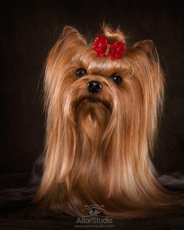 Yorkshire Terrier Dog Breed йорки Pinterest Terrier Dog Breeds