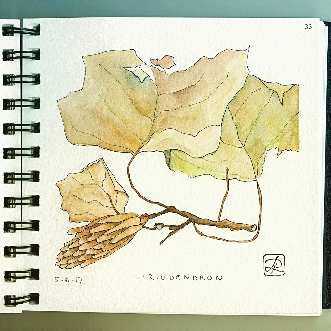 033/100 - Liriodendron: Tulip Tree leaves and pod, leftover from last fall. 🍂...#fall #leaves #leftover #liriodendron #pod #tree #tulip