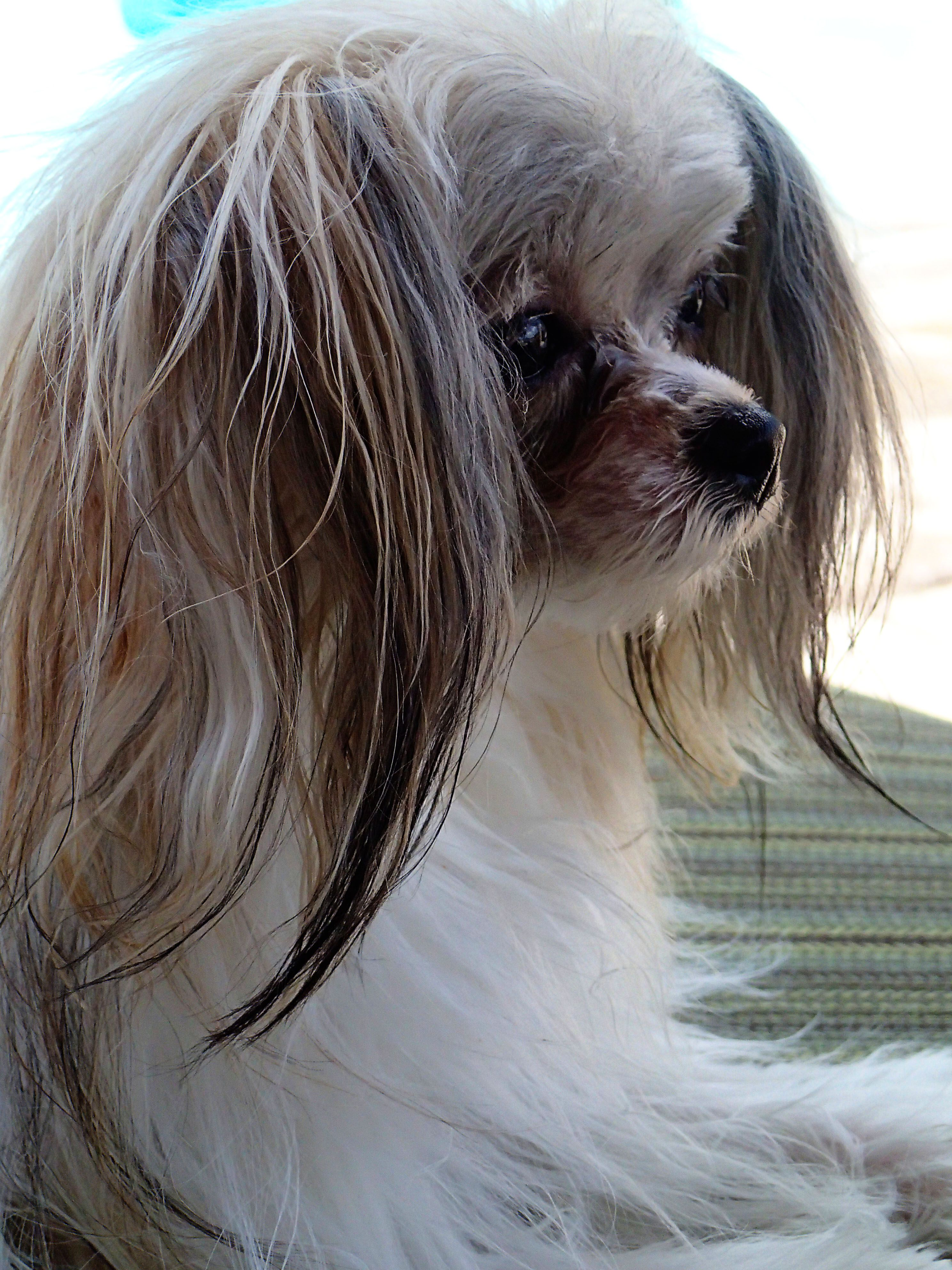 Oh The Life Of A Mi Kik Purebred Dogs Dog List Dog Life