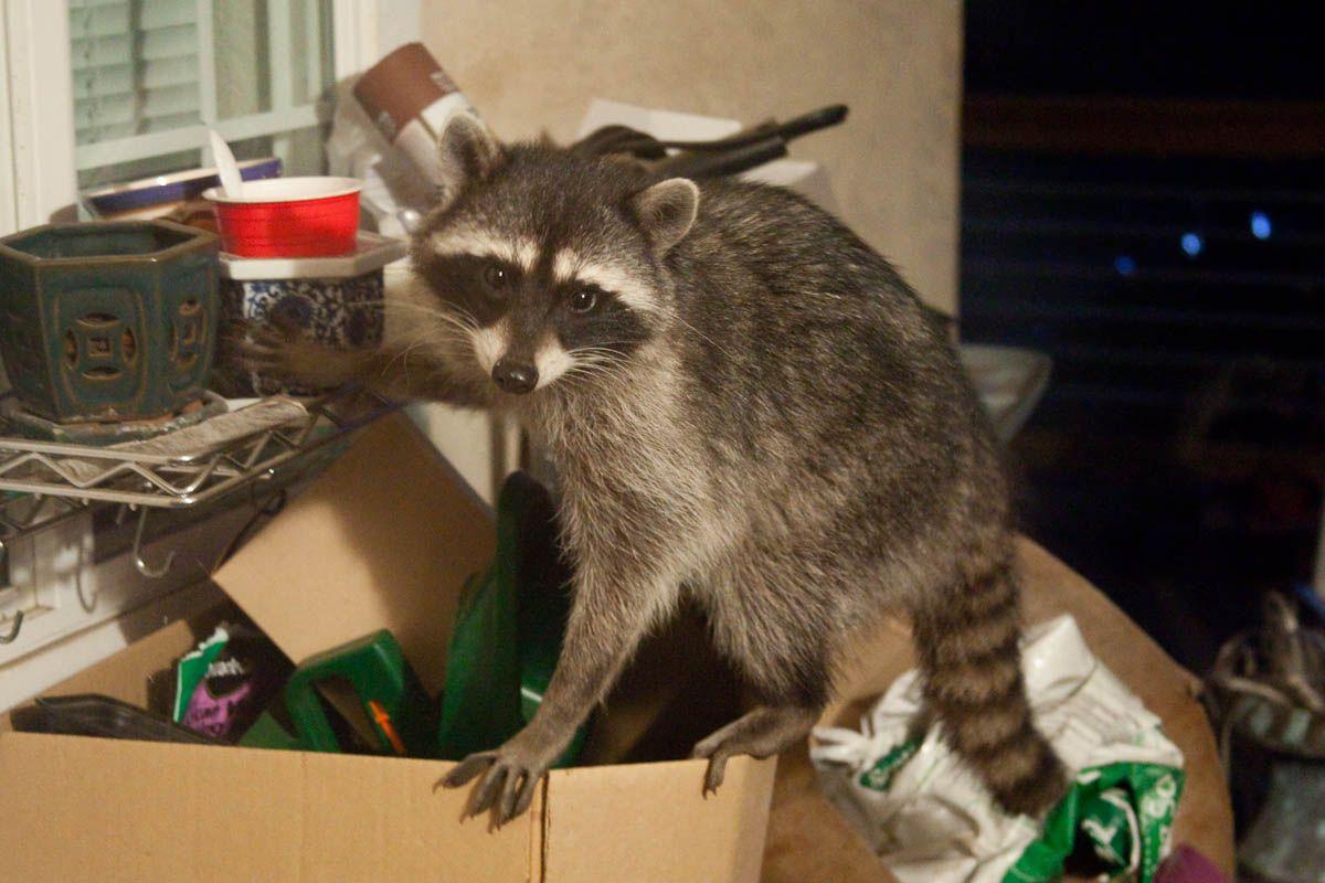 Resultado De Imagem Para Hoarders Raccoon