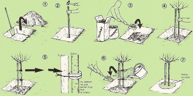 Planter un arbre fruitier arbres trees pinterest planters - Quel arbre fruitier planter ...