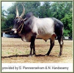 The Kangayam cattle conform largely to the Southern Indian Mysore type ...