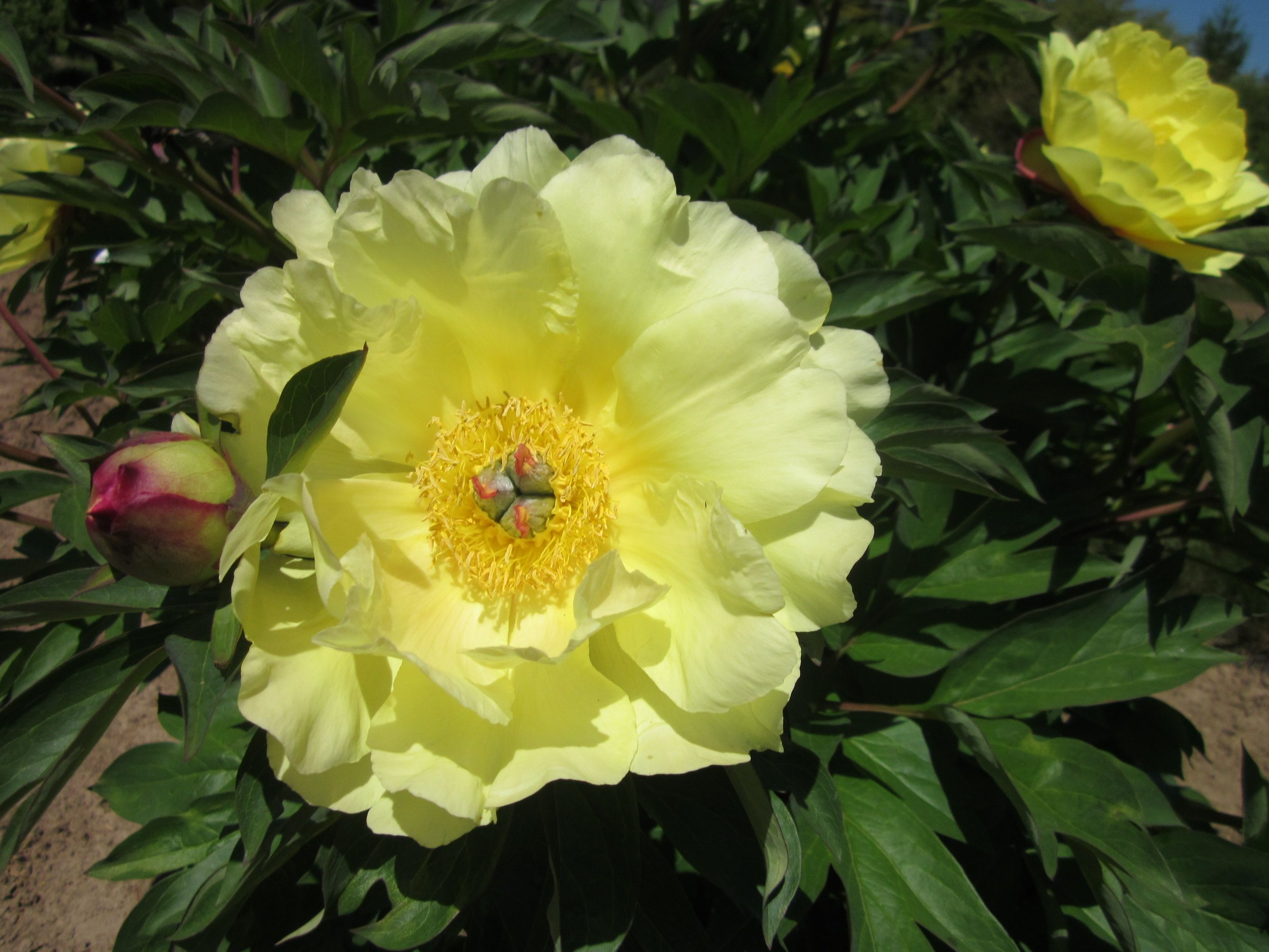 Intersectional Peony Sequestered Sunshine A Clear Bright Yellow Peony Bare Root Peonies Itoh Peonies Planting Peonies