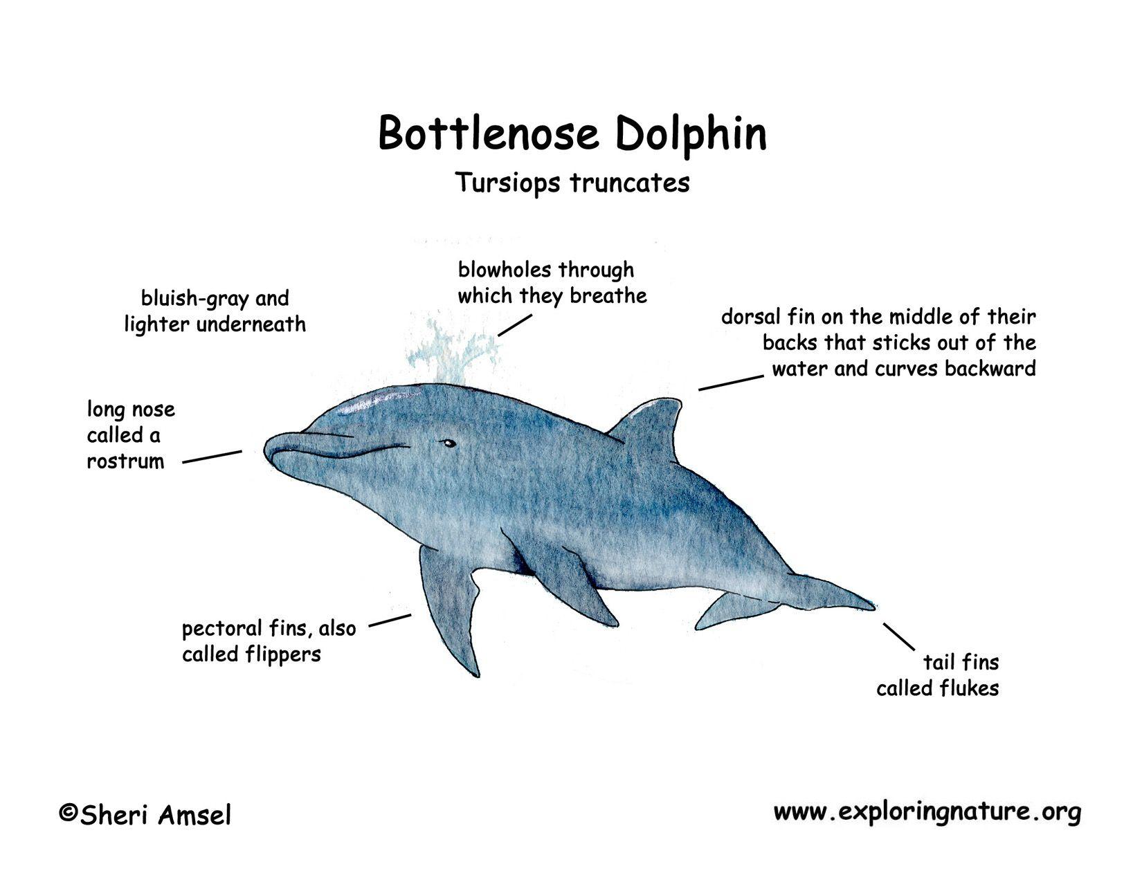 Bottlenose Dolphin Diagram