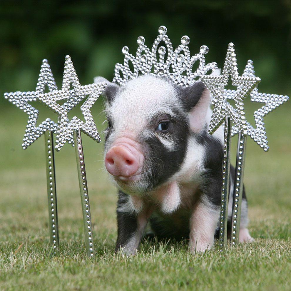 Grinsendes Schwein