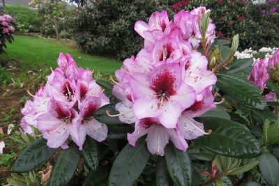 Hirsutum Info Rhododendron Hybrids X2f Cultivars 39 Cassata 39 Rhododendron Hybrids Plants