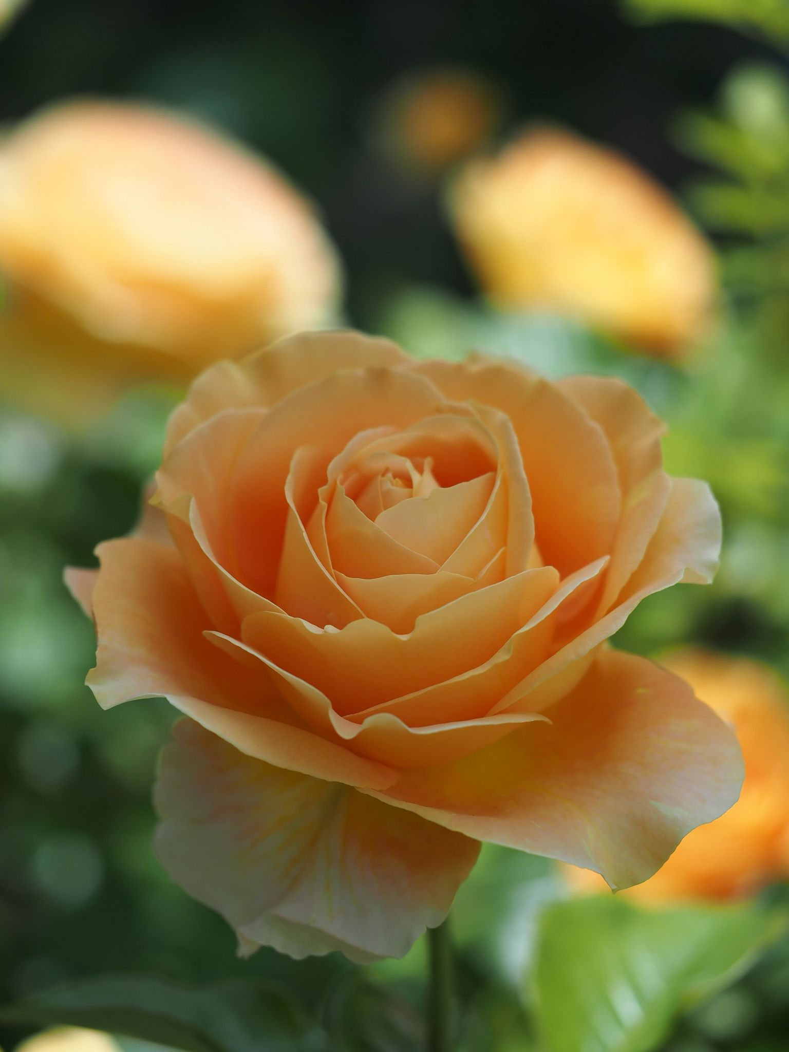 Rose candlelight バラ キャンドルライト yellow and orange bloom