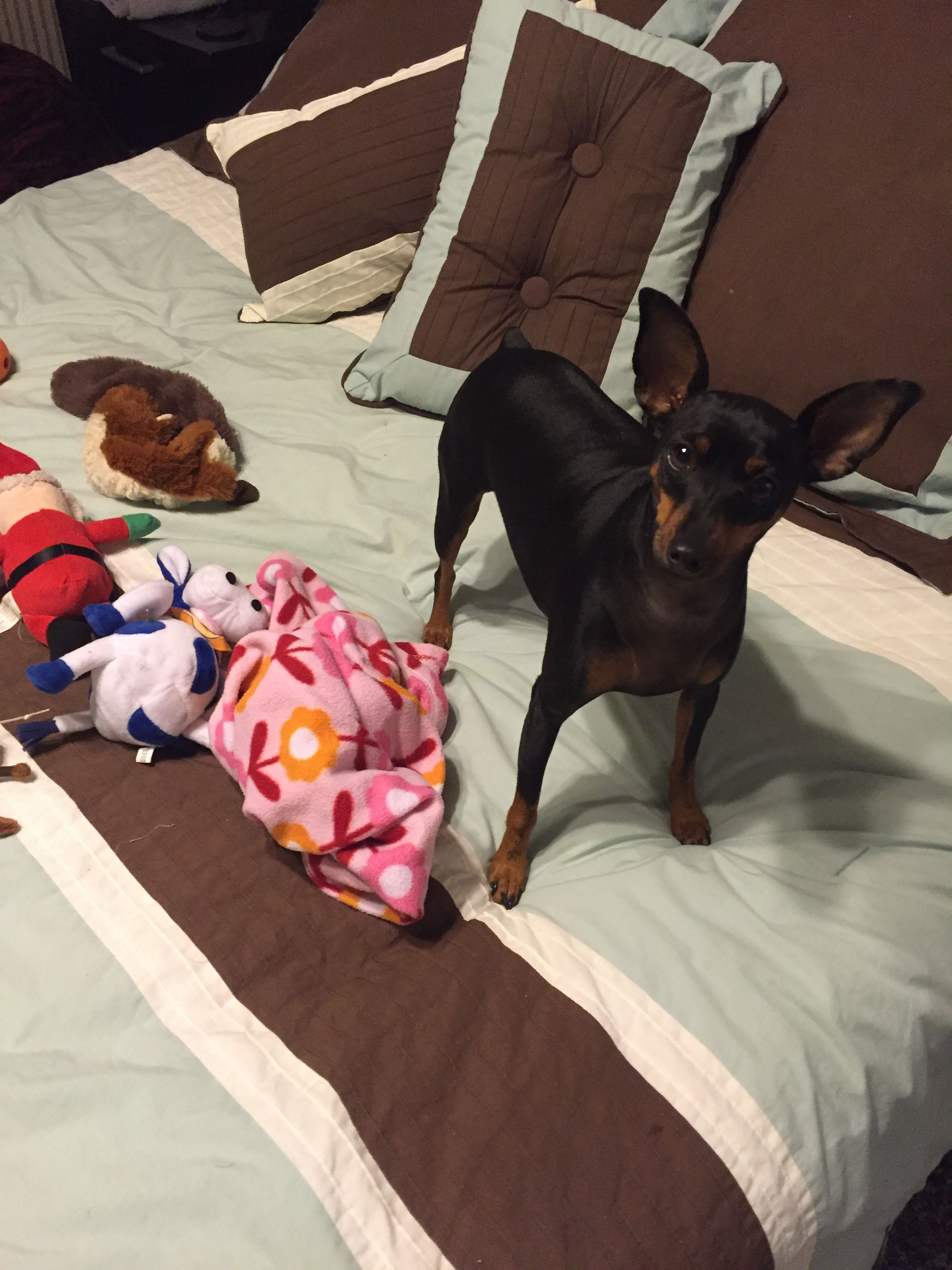 """""""Why yes I need all these toys on our bed."""" Min Pin #Pepper #MinPin, #miniaturepincher, #Kingoftoys, #dog #toy"""