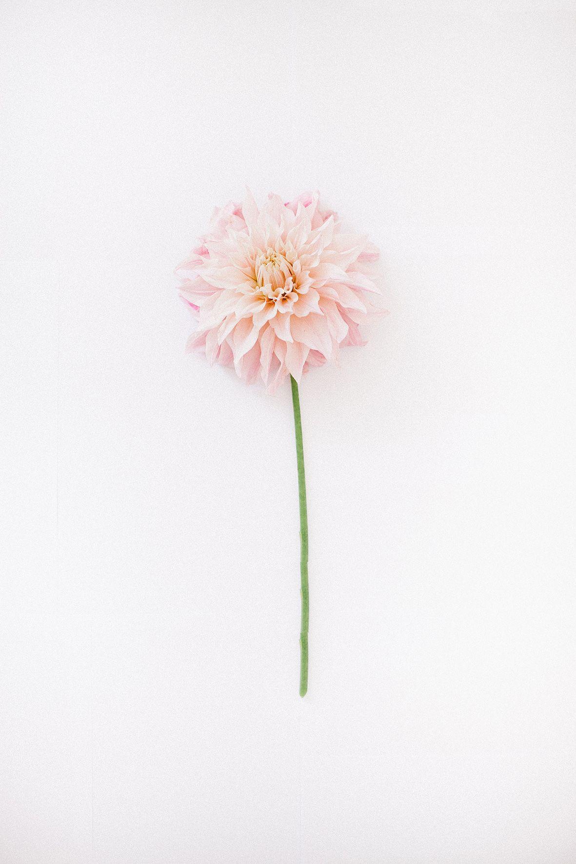 Blumenwiese Englisch dahlia tml f l o r a l g u i d e hintergrundbilder