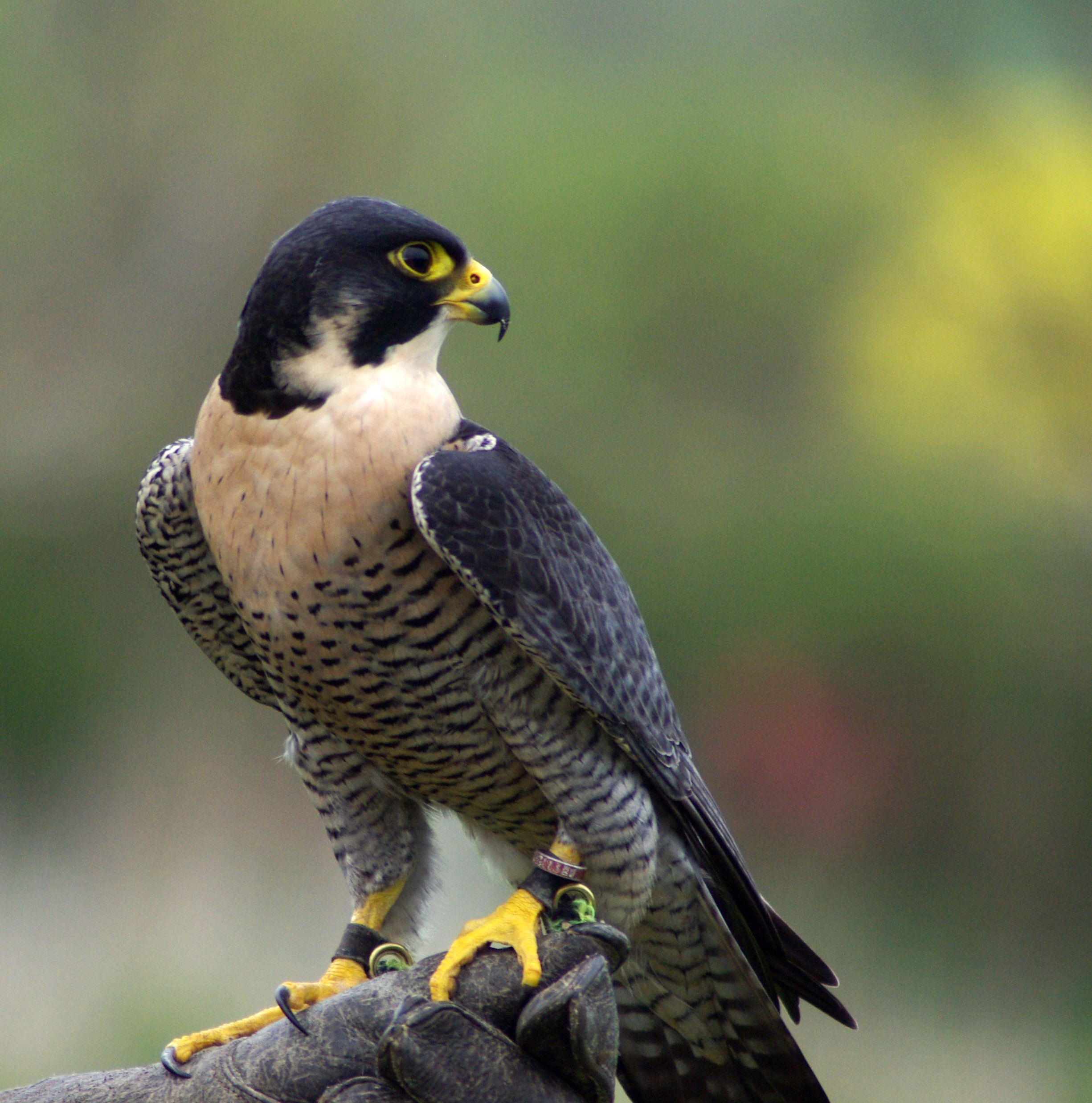 S D Falconry Half Day Falconry Experience Available Egan Our Peregrine Falcon Aves Rapaces Falco Peregrinus Halcon Peregrino