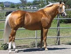 Palomino Horses for Sale - Bing Images