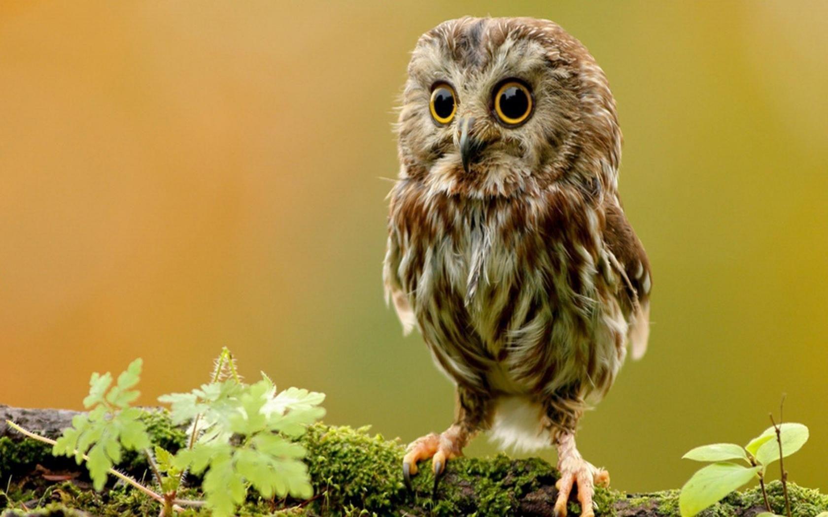 Owlet Animal HD Desktop Wallpaper Bird Owl