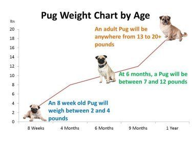 Pug Dog Growth Chart Pug Weight Pugs Puppy Growth Chart