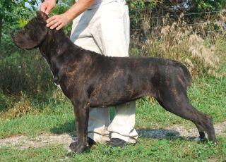 Boy Named Sue Love Her Madrivercanecorso Com Cane Corso Puppies Cane Corso Puppies