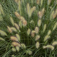 Gardening With Ornamental Grasses Ornamental Grasses