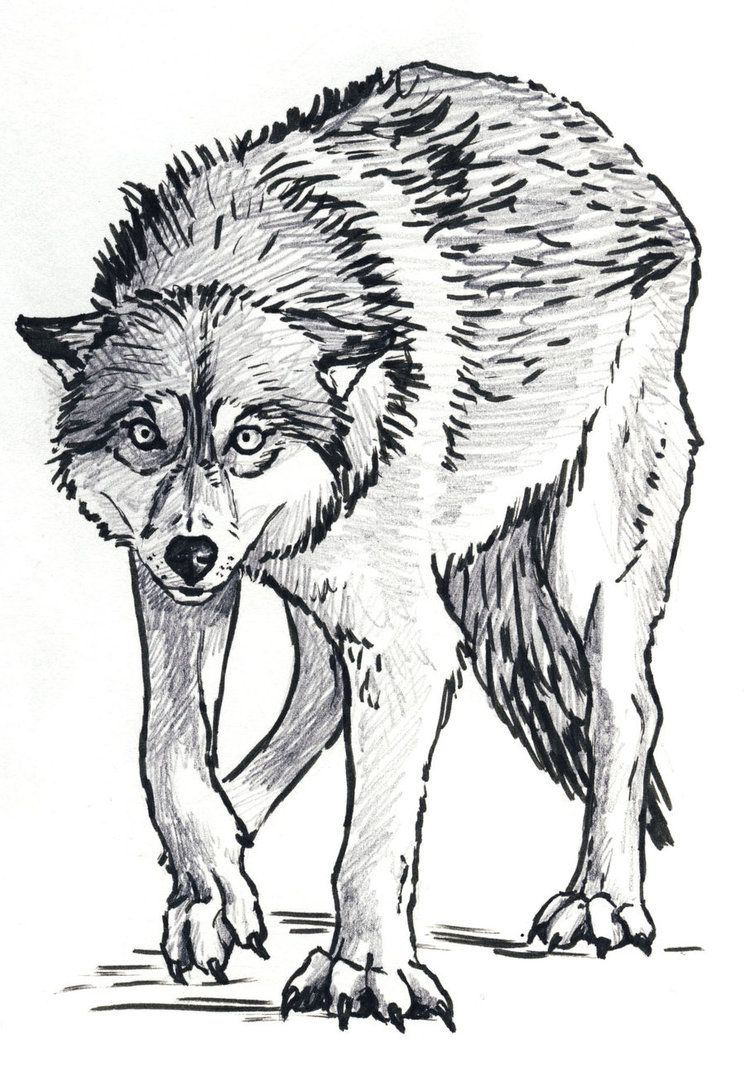A Drawing In Graphite Of A Wolf Snarling I Used This Reference Wolf Painting Wolf Sketch Fantasy Drawings