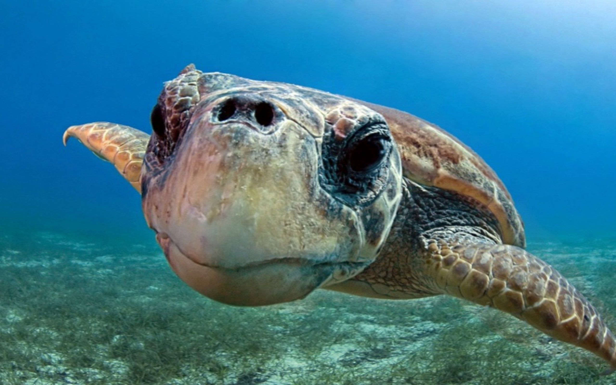 cute sea turtle free picture (With images)   Sea turtle ...