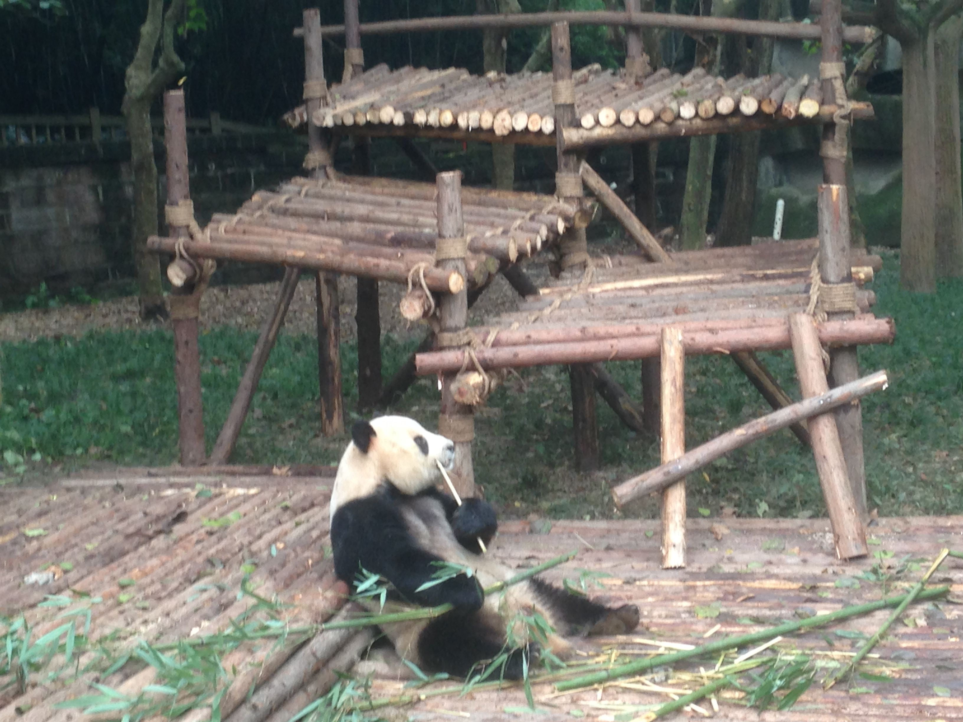 Pandas at Chengdu - See more on travel at http://ajourneyintotheunknown.com/