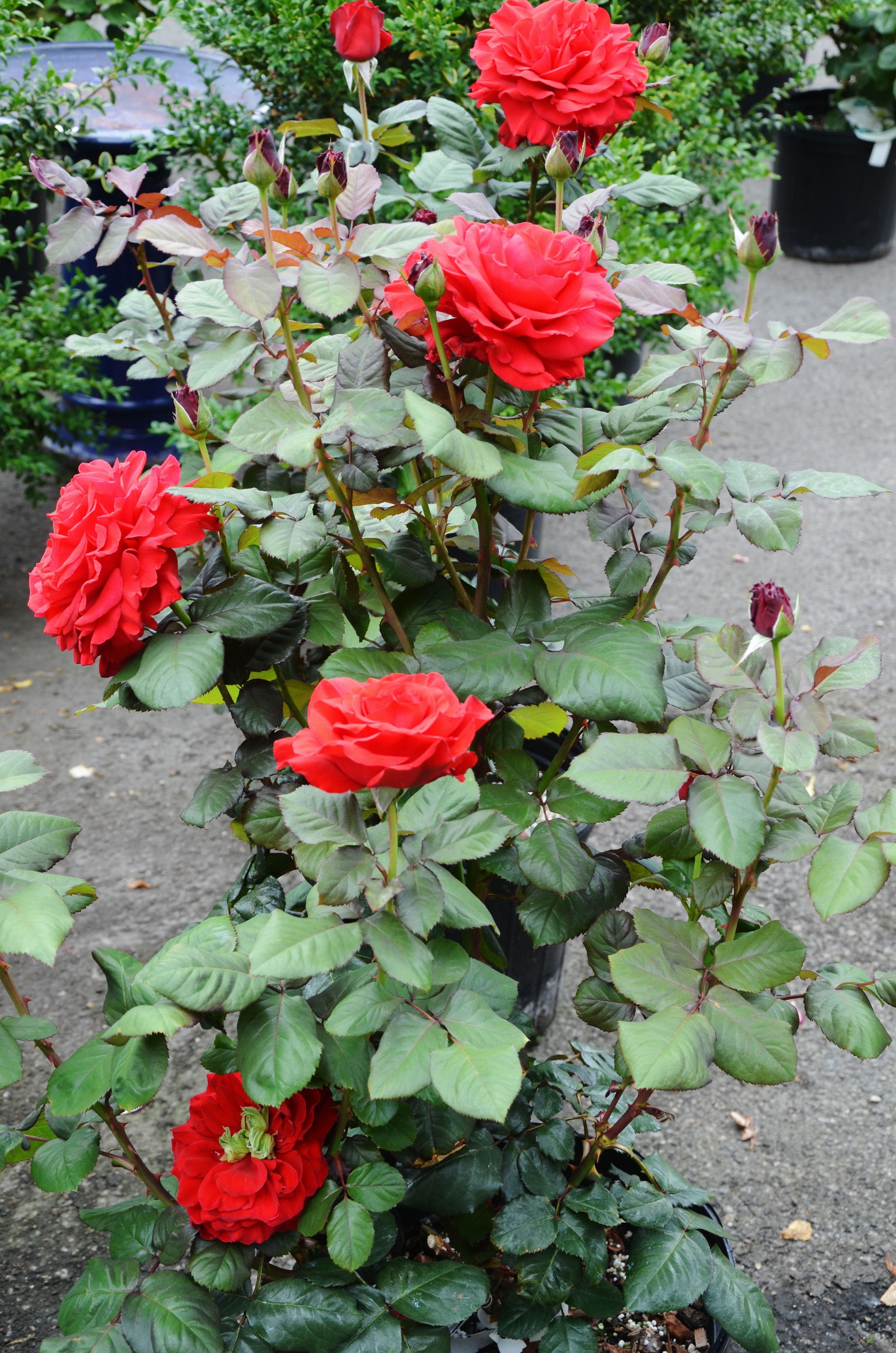 How to trim a rose bush - Rose Care 101 Even Though They Pretty Much Seem To Take Care Of I Want A Red Rose Bush With Huge Roses On It