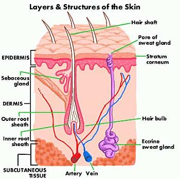 show pictures integumentary system | this skin diagram clearly shows all  the layers of skin  we will now go