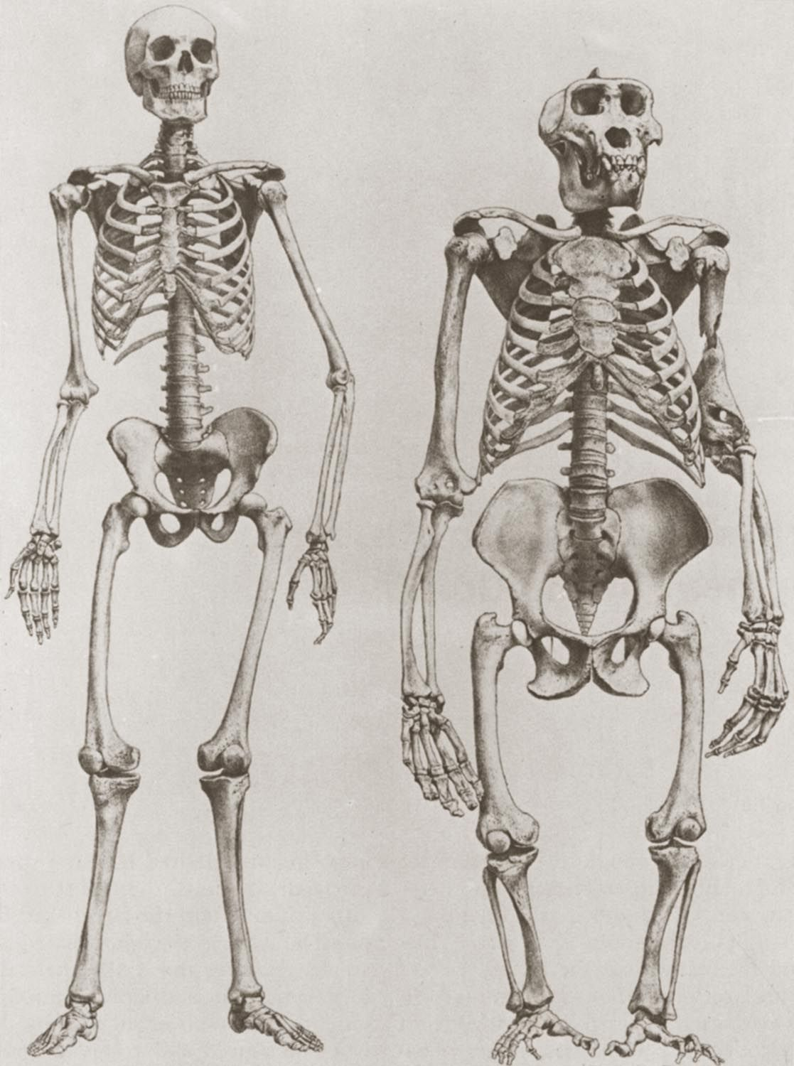 The skeletons of a human (left) and a gorilla (right) | Animals ...