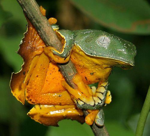 Amazing Frog: Amazon Leaf Frog (Cruziohyla Craspedopus)