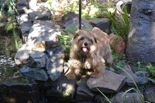 Our Norfolk--ungroomed, filthy and having too much fun exploring the pond in the back yard!